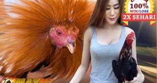 Sabung Ayam Bangkok Super