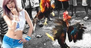 Sabung Ayam Jago