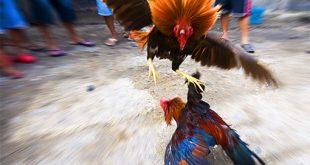 Latihan Ayam Aduan, Agen Betting Terpercaya,Agen Bola,Sabung Ayam,Togel,Bola Tangkas,Agen Bola Maxbet,Bandar Taruhan Online,Agen Tangkasnet,Agen Sabung Ayam, Sabung Ayam Online, Agen Sabung Ayam Online, maxbet303.id