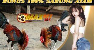 Ayam Bangkok Bertarung