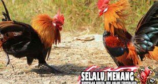 Strategi Bermain Taruhan Sabung Ayam Online