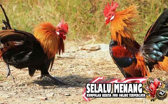 Jenis- Jenis Ayam Hutan Langka Di Dunia