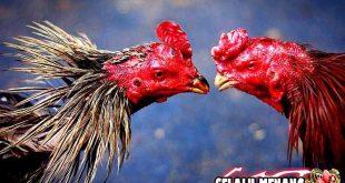 Kenali Ciri-Ciri Ayam Pama Asli