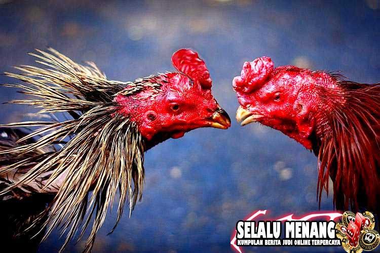 Berbagai Cara Melatih Ayam Bangkok Agar Mematikan Dalam Arena