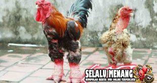 Mengenal Ayam Bangkok Dong Tao Yang Memiliki Penampilan Yang Mengerikan