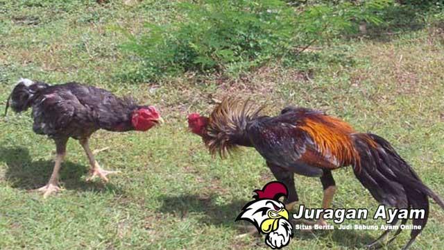 Langkah Tepat Menguatkan Leher Ayam Aduan Bangkok